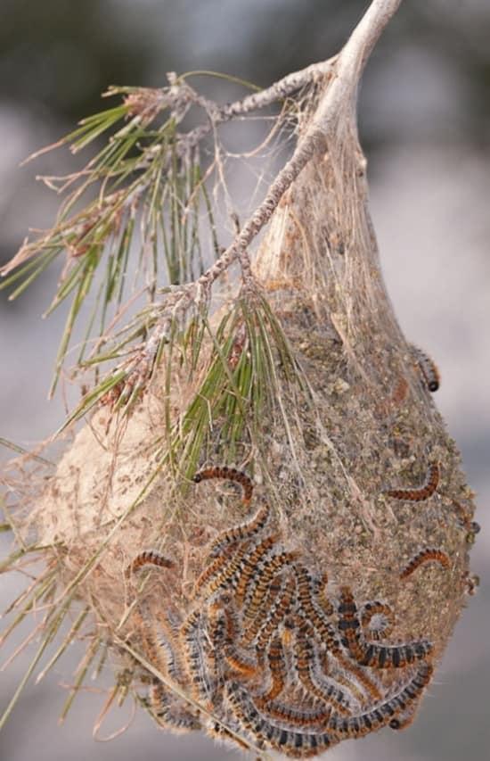Cattura nido di processionarie